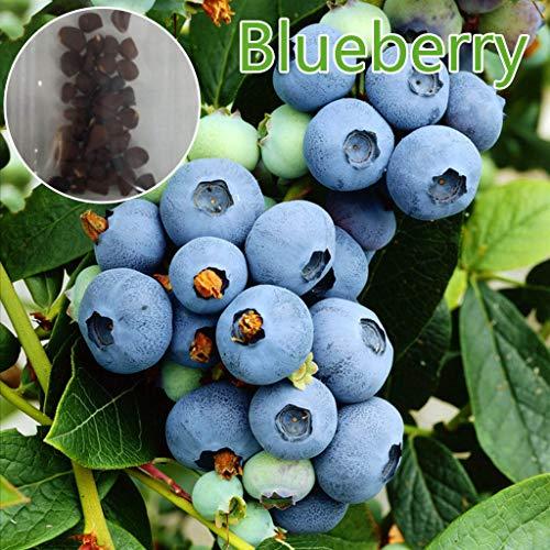 PHILSP 30 Stück Bio Blaubeersamen Erbstück Obst Bonsai Garten Balkon Dekoration
