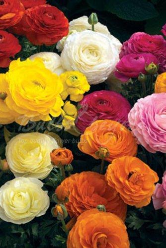 Collezione Ranuncolo Mix di Colori - (120 tuberi) - Bulbi da fiore/fiori da giardino - SPEDIZIONE GRATUITA