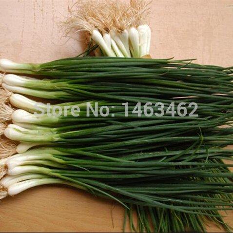 Quatre saisons ciboulette, graines de légumes chinois - 100 particules
