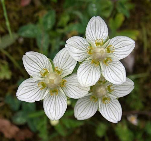 Bloomed Bogstar