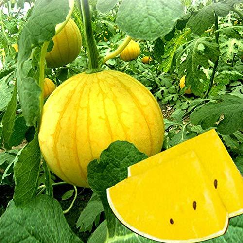 Golden Boy Semi di anguria Buccia gialla Regalo di terreno giallo Semi di anguria piccola Regalo commestibile Anguria Frutta Primavera e autunno Seme 300g