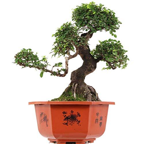 Chinesische Ulme, Bonsai, 15 Jahre, 46cm
