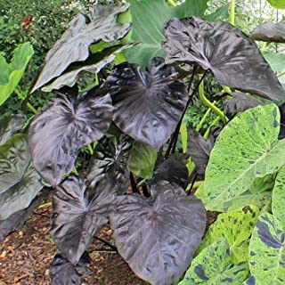 1 Starter Plant of Colocasia Kona Coffee Elephant Ear Plant