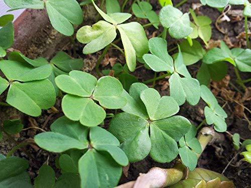 Clover Seeds Plan d'extérieur Chanceux 100% Véritable Graine de trèfle à Quatre Feuilles 100 Pcs/Sac Jardin Décoration Graines de Fleurs