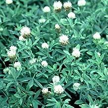 Outsidepride Trifolium Alexandrinum Frosty Berseem Clover Seed - 20 LBS