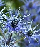 Alpendistel 15 Samen, Eryngium alpinum Superbum - Superbum ist eines der auffälligsten Sorten