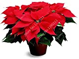100 Stück Poinsettia Samen, Euphorbia pulcherrima, Topfpflanzen, seltene Blütenpflanzen Samen für hjome Dekoration