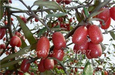 Nouveaux 2017 Fruit Lait de chèvre Graines Tropical Noir bio Brin Bonsaï Chèvre Fruit Milk, Grand jardin Plantes vivaces 100 Pcs 13