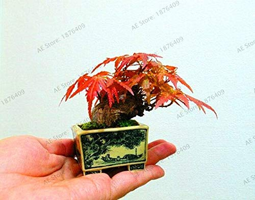 Pianta in Vaso da Giardino Vero al 100% Giapponese Acero Rosso Bonsai Plantas, 55 pc/Pacchetto, Molto Bella Coperta Albero: 1
