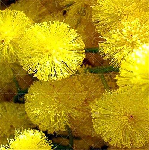 Bloom Green Co. 50 piezas coloridas semillas de narciso (no bombillas de narciso) Bonsai Semillas de flores Plantas acuáticas Pétalos dobles Narciso Planta de jardín en casa: 7