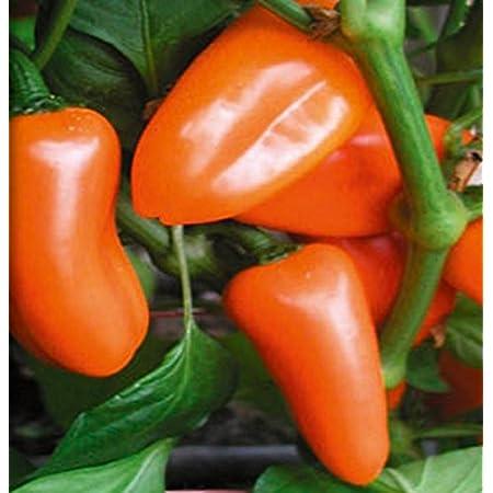 Dürr seed-Cherry Pepper Hot Basket F1