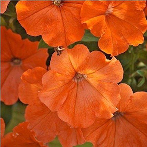 n Sunset ~ Beautiful Orange Petunia Seeds ~ New AAS Winner