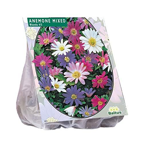 Anemone Blanda gemischt 50 Stück Blumenzwiebel