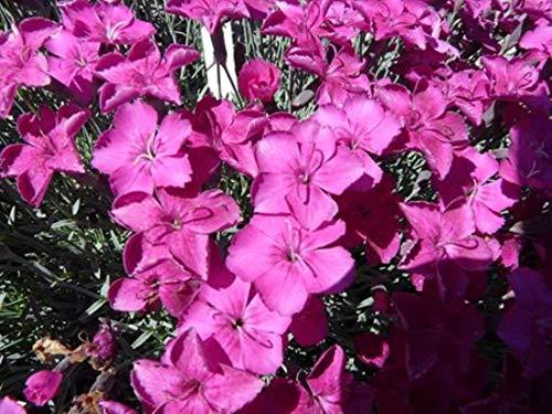 Dianthus gratianop. 25 Stück Pfingstnelke Baby Lom Nelke Bodendecker winterhart