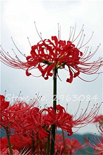 Big Sale! 100 Pcs Red Lycoris Graines Plante en pot Lycoris Radiata Graines de fleurs Plantation vivace intérieur Fleurs Bonsai Graine de plantes 3