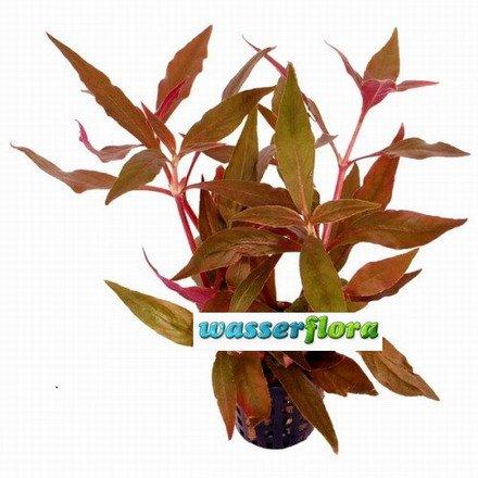 WFW wasserflora Rotes, kleines Papageienblatt/Alternanthera reineckii cardinalis
