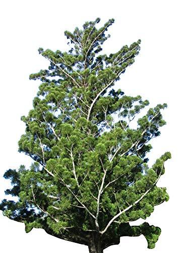 Schmuck-Tanne/Neuguinea-Araukarie (Araucaria cunninghamii) 10 Samen