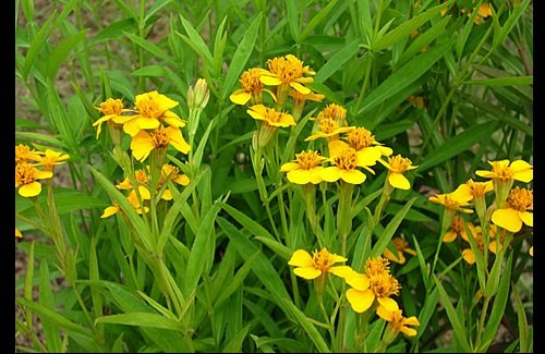 100 Tagetes Lucida/Mexican Mint Marigold Seeds