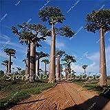 10 Semillas Raras Semillas de Bonsai Árbol de hoja caduca llamado Baobab Semilla de árbol para macetas Macetas Haga que su hogar y jardín sean hermosos