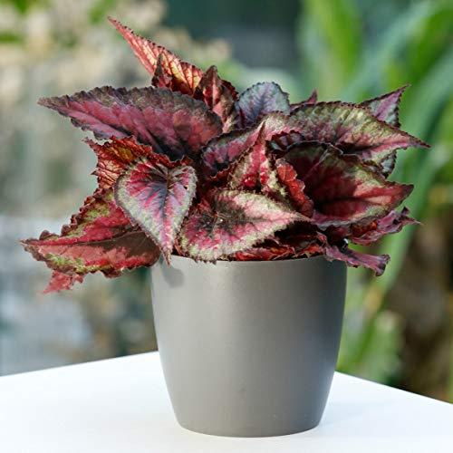Qulista Samenhaus - Rarität 10pcs Exotisch Rote Begonie Magic Colours bunte Blatt-/Königs-Begonie Zimmerpflanzen Blumensamen winterhart mehrjärhig