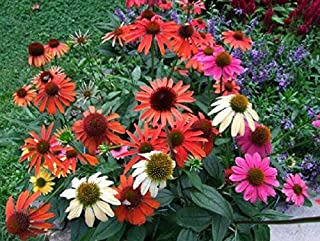 Echinacea 'Cheyenne Spirit' Well Rooted Plant in A 2 1/2 X 3 1/2 Inch Pot 1 Pcs DW123