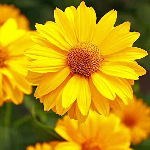 Falsche Sonnenblume, Sommersonne - Heliopsis scabra - 125 samen