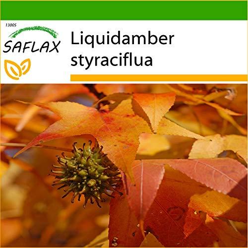 SAFLAX - Amerikanischer Amberbaum - 100 Samen - Mit keimfreiem Anzuchtsubstrat - Liquidamber styraciflua