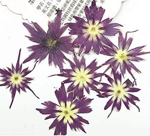 Artificial and Dried Flower 120pcs Reservation Pressed Pox National uniform free shipping 2-3cm Subul