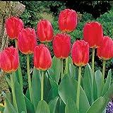 Red Matador Jumbo Perennial Tulip - 100 Seeds per Bags | 'Red Matador' | Zone 3-8 | Fall Planting |...