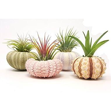 aura creations 4 Pcs Sea Urchin Air Plant Lot/Kit Includes 4 Live Plants and 4 Sea Shells/Housewarming Home Decor Accents