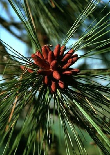 TROPICA - Pin jaune (Pinus ponderosa) - 20 graines- Résistant au froid