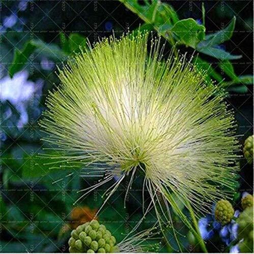 Bloom Green Co. 100 Unids/bolsa Dianthus Barbatus Bonsai Flor Balcón Bonsai Multicolor Clavel Bonsai Planta Fácil de Crecer: 10