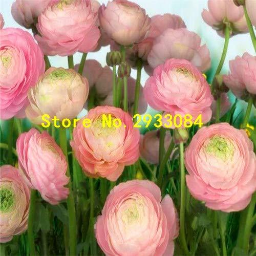 Grün: 20 Samen/Pack Ranunkel Blumensamen Blumensamen Topfblumen und Samen Aussaat Jahreszeiten Balkon Einfach zu pflanzen