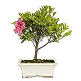 Bonsái Rhododendron indicum sp. 6 años AZALEA