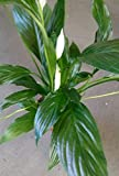 Peace Lily Plant - Spathyphyllium - Great House Plant - 4' Pot