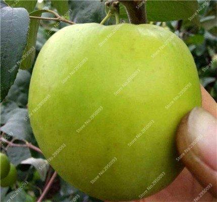 20pcs/sac exotiques japonais Jujube Graines Succulent non-OGM Bonsai Fruit d'ornement Arbre en pot plante facile à cultiver 6