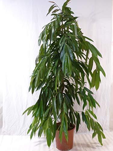 """[Palmenlager] - XXL Ficus bin.\""""Amstel King\"""" - 180/200 cm/Zimmerpflanze ähnlich benjamini"""