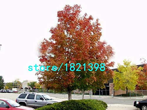New Home Garden Plant 50 Seeds Northern Sugar Maple Acer Saccharum Rock Maple Fall Colors Tree Seeds
