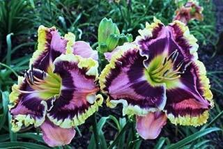 EU78A X Halloween Effect Daylily Seeds Perennial Plant Flower Seed Cool