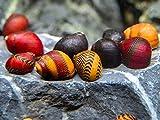 Family of 3 Red Racer Nerite Snails Freshwater...