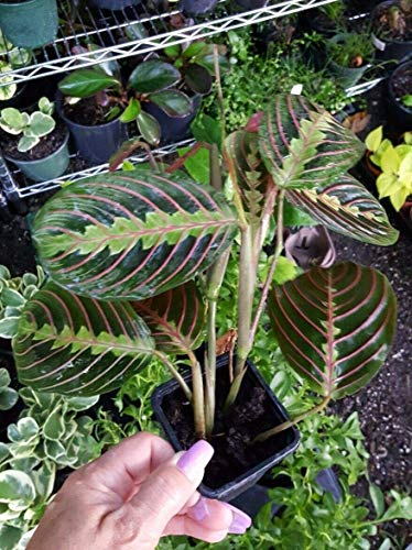 10Pcs / Tasche Maranta Bonsai Red Gebet Zebra Gebet Pflanze Eazy wachsen Maranta Pflanze Hosta Balkon Hot