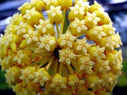 100pcs / sac Vente Hot arc Hoya Rare Graines Outdoor Blooming Bonsai plantes en pot de fleurs Maison et Jardin Livraison gratuite 18