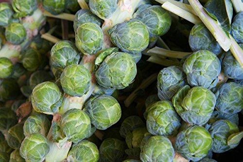 Coles de Bruselas'Dolores F1' - variedad verde resistente a la sequía - semilla