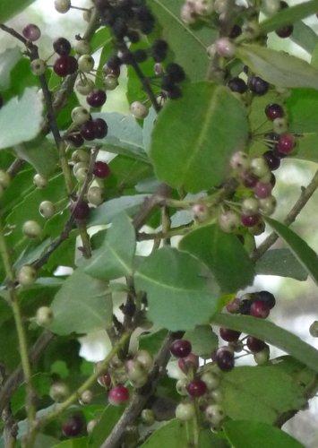 Seedeo Mate Tee Strauch (Ilex paraguariensis) 20 Samen