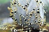 ShrimpRack 10+1 Crystal Black Shrimp CBS Grade S-SSS Live Freshwater...