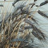 Outsidepride Triticum Aestivum Black Knight Wheat Ornamental Grass Seed - 250 Seeds