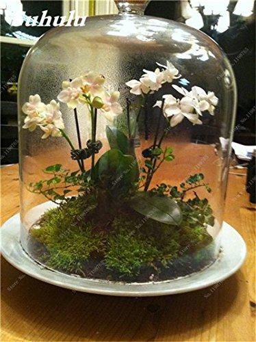 Vert mousse Graines 120 Pcs exotiques rares Graines Bonsai Moss Belle Moss Boule décorative Jardin créatif herbe Graines Plante en pot 20