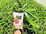 Zoom IMG-1 pianta di pitaya altezza 30