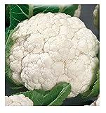 4400 C.ca Semi Cavolfiore Palla di neve - Medio Preoce - Brassica Oleracea - In Confezione Originale - Prodotto in Italia - Cavolfiori - CF005