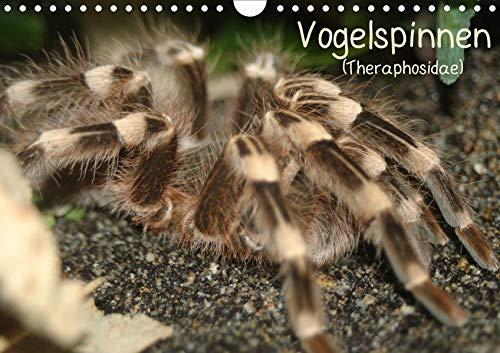 Vogelspinnen (Theraphosidae)CH-Version (Wandkalender 2020 DIN A4 quer): Vogelspinnen mit schönen Fotos in einem Monatskalender (Monatskalender, 14 Seiten ) (CALVENDO Tiere)